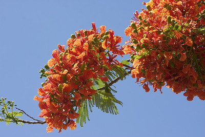 Royal Poinciana Tree, Cooper City, Fla, May 2015.