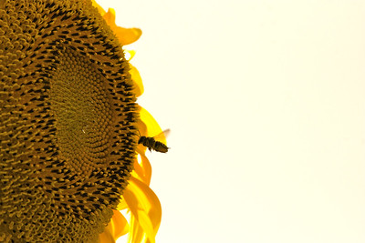Sunflower and the bee shine in the sunshine, June 2014.