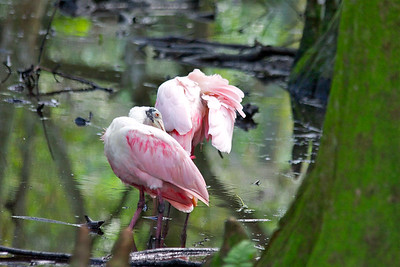 Roseate spoonbills, Flamingo Gardens, Davie, Fla., September 2014.