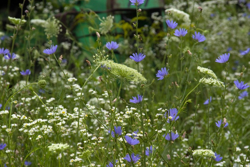 Blue Chicory and Queen Annes Lace