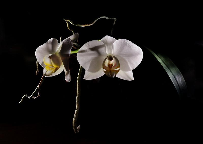 Orchid - 2 flash composition