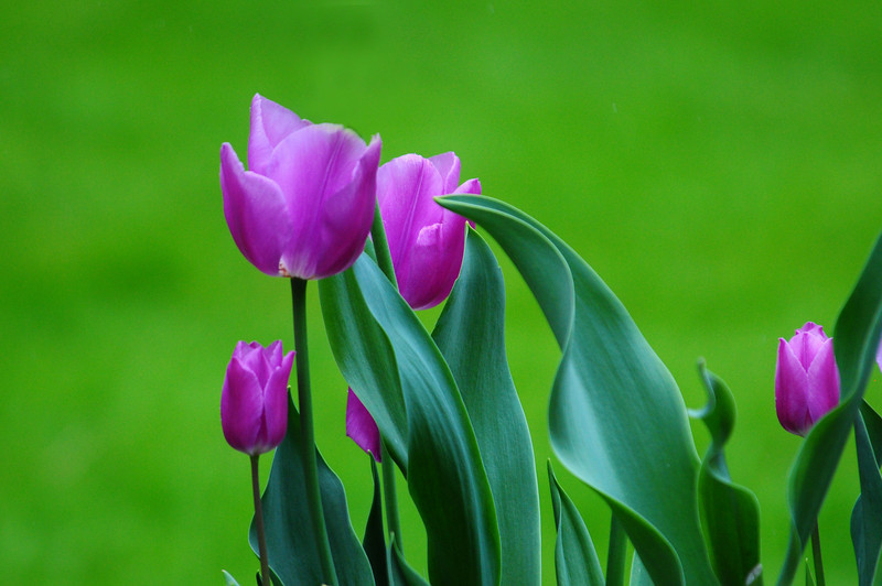 Tulips - at 400mm