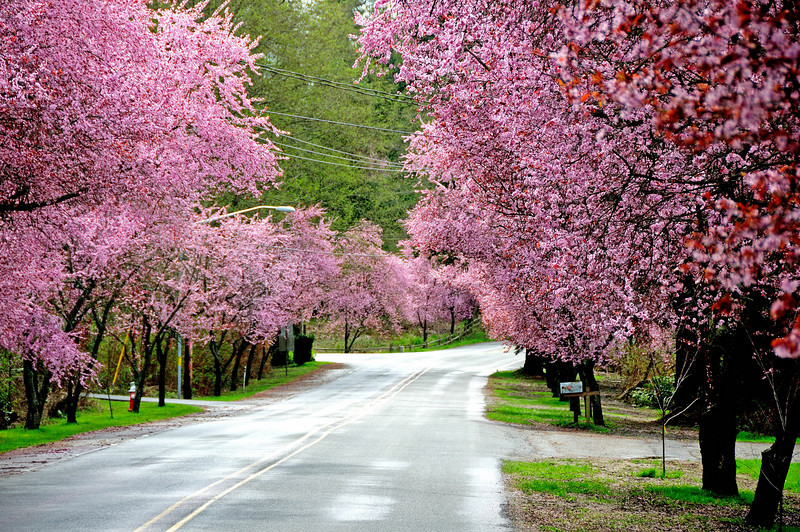 Whidby Island flowering cherry trees