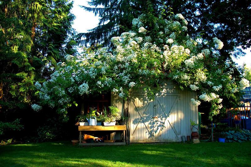Maltby garden - magnificent rose bush