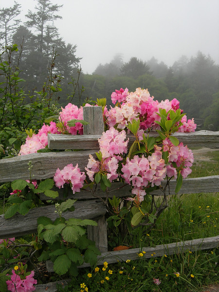 Flowers on Fence, Kalaloch, Washington