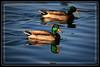 Duck, Mallard-Male