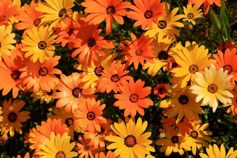 Arctotis Hybrid Cultivar<br /> <br /> Commonly Known as the African Daisy