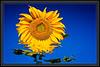 ART - Sunflower Melt Down