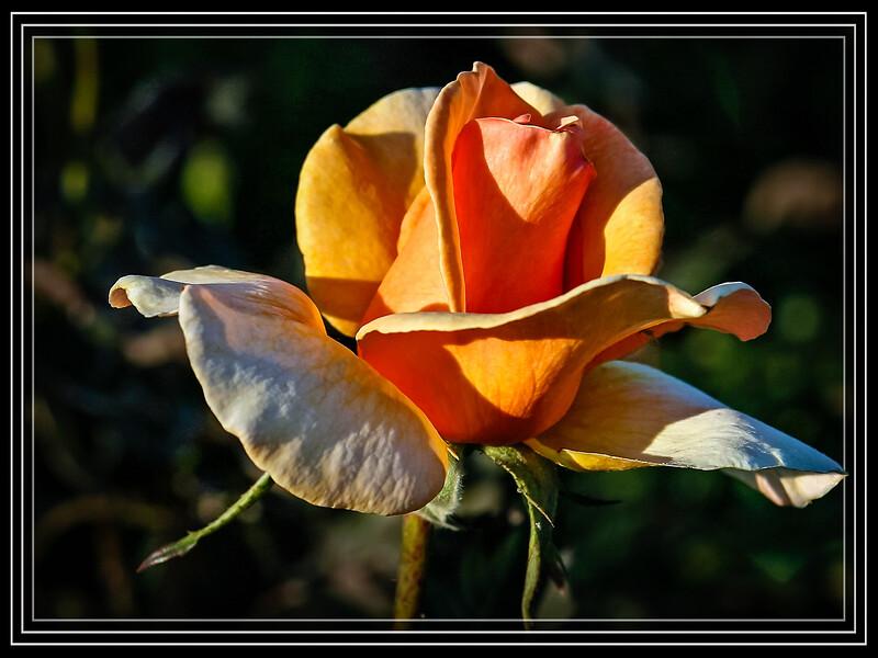 """Rose Julia's Rose  </font> <a href=""""http://www.rickwillis-photos.com/Portfolio/Best/Hidden-Photos-Without-Frames/26709550_DZD78d#!i=166250347&k=vVkrLKq""""> <font color=""""Red""""> Link to Photo Without Frame </a> </font>"""