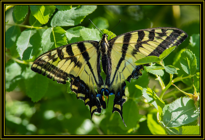 Three-Tailed Tiger Swallowtail
