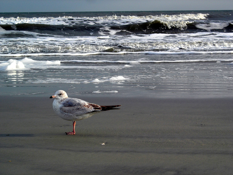 Seagull, Hilton Head, South Carolina