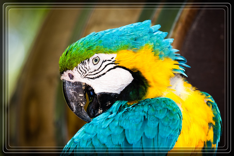 """02-20-2014 - Macaw  <a href=""""http://www.rickwillis-photos.com/Nature/Animals-and-Reptiles/AZ-Phoenix-Zoos/i-MKx4RL6"""">Link to Photo Without Frame</a>  Thank You for Making this Daily Photo the #1 Pick on 02-20-2014"""