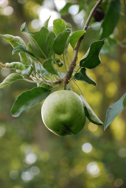 Apple Tree, Faulkner, Maryland