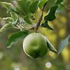 Apple Tree, Faulkner, Maryland