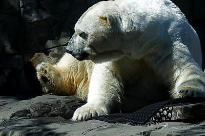 Polar Bear at the Central Park Zoo