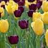 tulips at the Frelinghuysen Arboretum