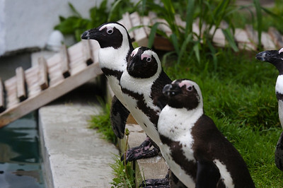 Penguins at Turtle Back Zoo