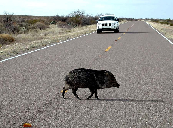 JAVELINA This image was used as the cover photo of the Big Bend National Park newsletter <i>Paisano</i> and in a children's book.