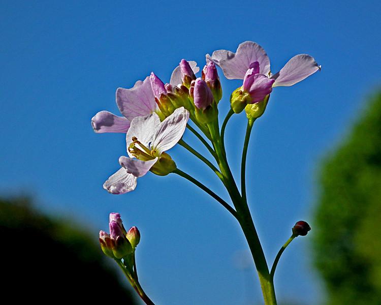 pretty Cuckoo Flower