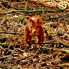 Red Squirrell, Crosby