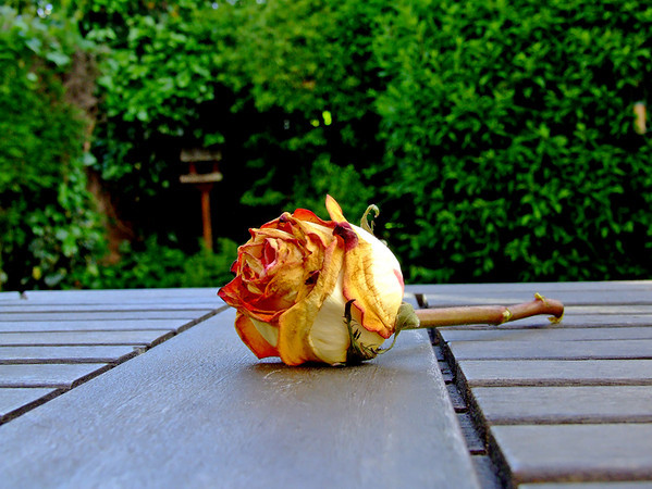 A rose for my rose