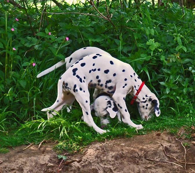 spotty dogs comp b