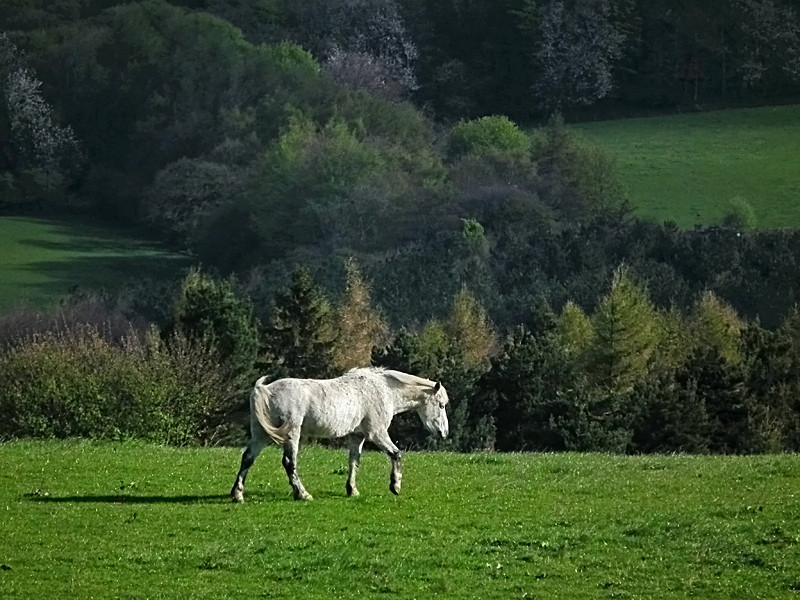 A White horse at Shield Riow, Co. Durham