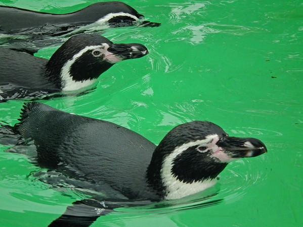 a Penguins 3