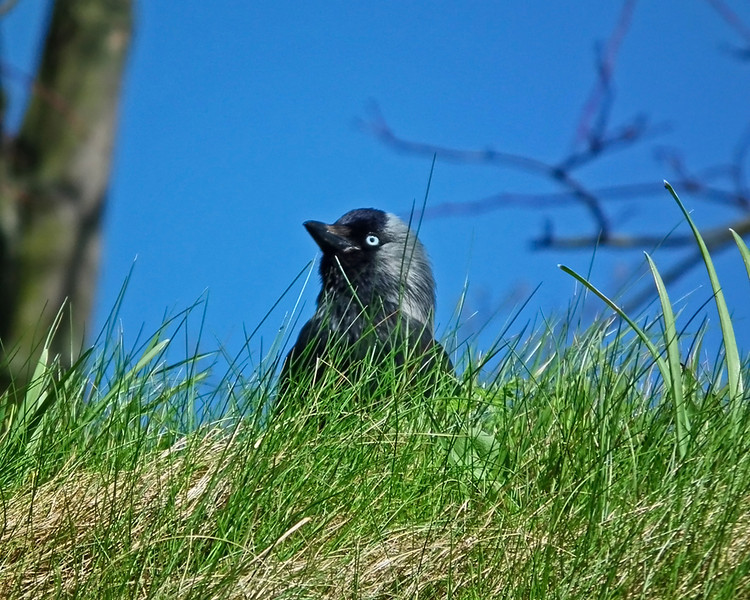 The blue eyed crow