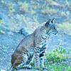 Bel Gatos Fem Bobcat Sitting Side