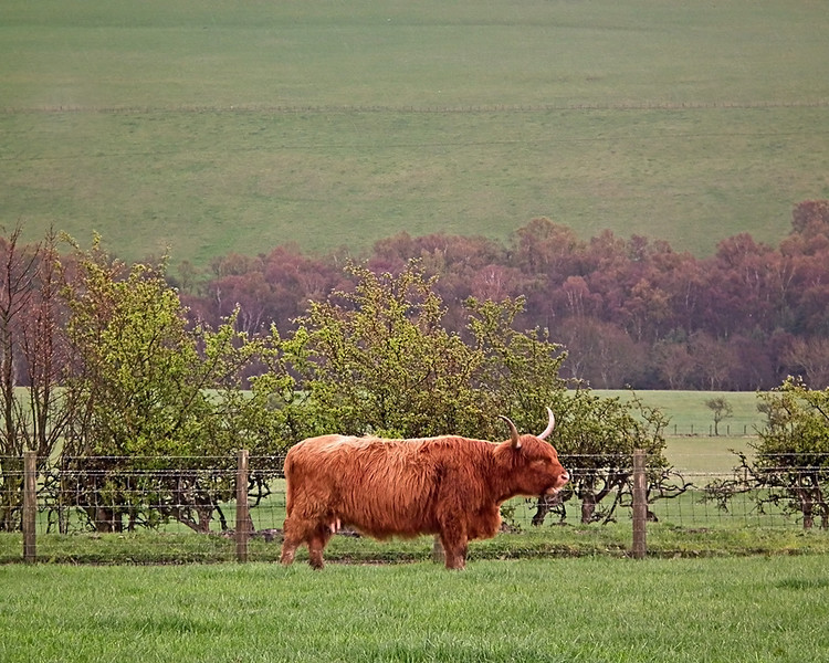 Highland Coo at Hall Hill Farm, Lanchester, Co. Durham