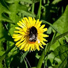 a Bee on a Dandelion in Princess Ann Park, Washington