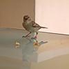 sparrow 04