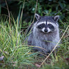 "Darn, this is a ""cute"" picture. This raccoon was the perfect photo subject. It allowed me to get just the right setting and exposure for this shot. Perhaps it knew that this was it's big chance for stardom?"