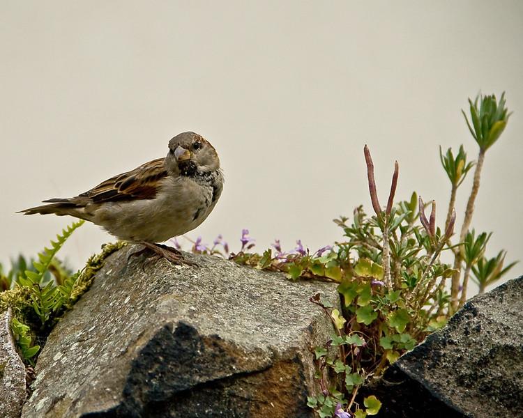 Sparrow  on Holy Island