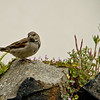 Sparrow  on Holy Island
