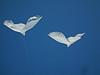 Dove kites