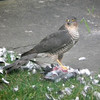 Sparrowhawk and the pigeon
