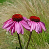 DSCF5704pink daisies