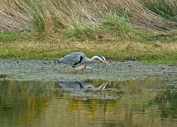 Heron Edinburgh 2008