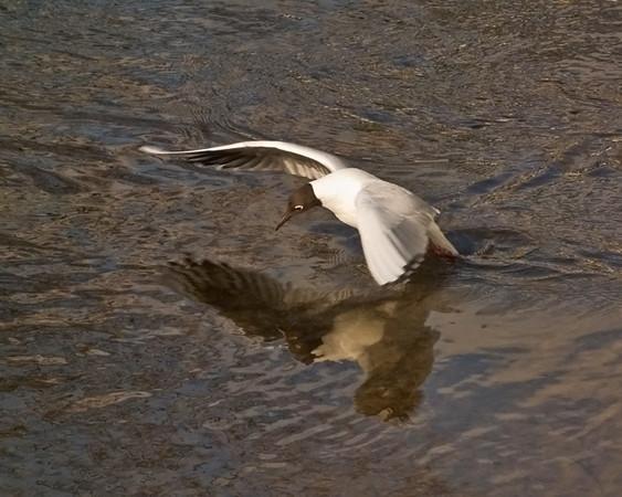 A Little Gull landing at Rothbury