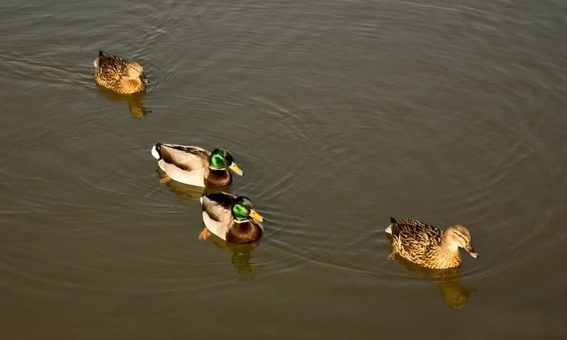 Ducks at Rainton Meadow