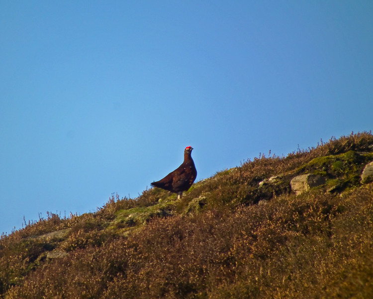 a moorcock in Weardale - above Stanhope and nr Crawleyside bank.