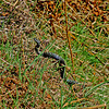 An adder in Harthope Valley (we saw 3 that day)