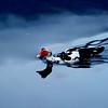 Llambaris NthWales Duck