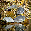 Four Red-Eared Sliders. They readily blend in with their environment. Careful scanning of the banks of the ponds will lead you to the photo opportunity. Oh yes, and lady luck.
