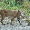 This young male Bobcat is the offspring of the pregnant female in the previous picture. She, at the time that picture was taken, was pregnant with this young male. I believe that the big male bobcat picture, 4 back, is the father.