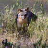 This is a Grey Fox who lived on our family mountain home & property near Groveland, California. This fox is a female and lived on the property for several years, usually making appearances right at last light of the day. She covered ground as if by magic. She would appear to us as a ghost floating quickly over stumps, and rocks in pursuit of prey. This beautiful female had at least two successful litters during her stay at the property. Then one day she didn't appear, and we never spotted her again. I choose to think that she simply decided upon a new denning area, and is out there yet, floating magically over hill and creek in the waning light of evening.