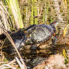 "Might LOOK like a piggy-back ride, but... Yep, the birds, the bees and the turtles too! As with Hawks, the male turtles are smaller than the females. And for good reason. These are the dominant pond turtles in this area of central California, the ""Red-eared Slider."" You can clearly see the red slash behind the eye of the female which gives these turtles their name. The shell on the back of this female is roughly 12""-14""."