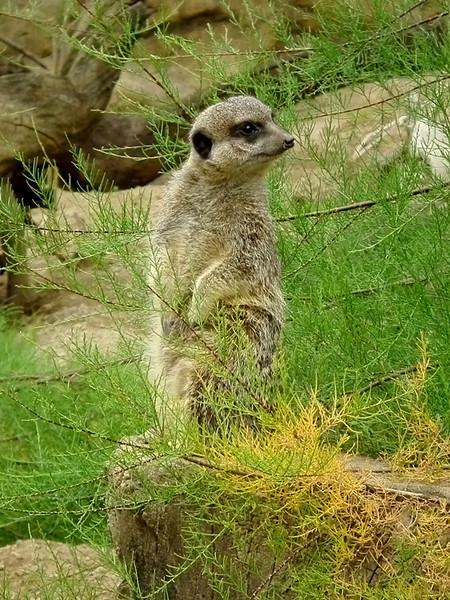 a meerkat 2